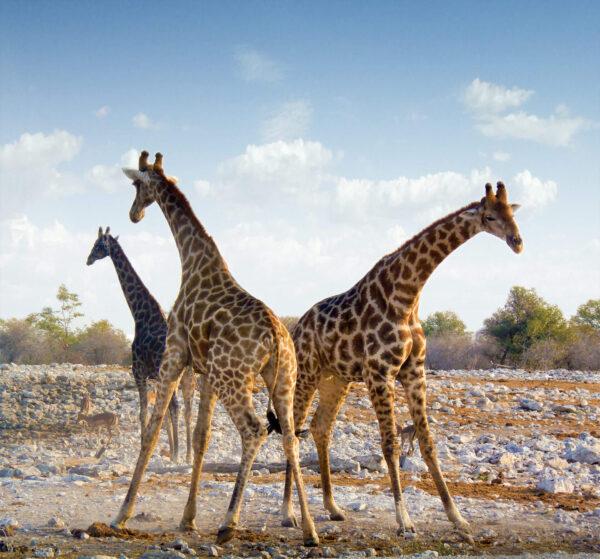 Duo de Girafes africaines