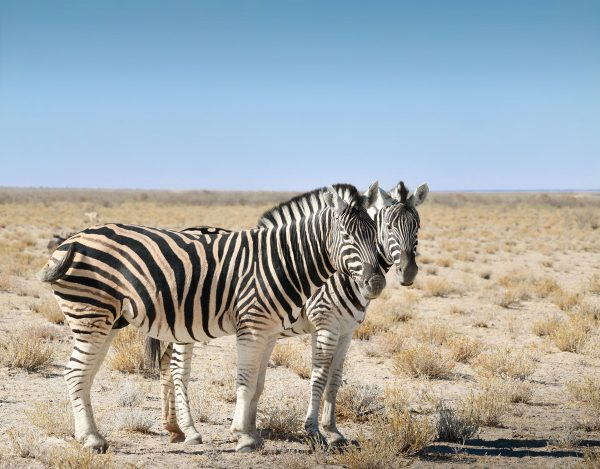 Zèbres - Namibie - Africallways