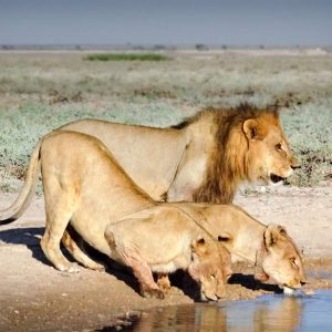 lions en train de boir Botswana - Africallways