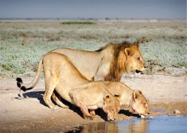 lions en train de boir Botswana - Africallways