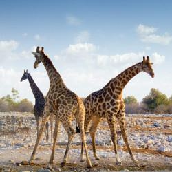Girafes_ciel_espace_haut